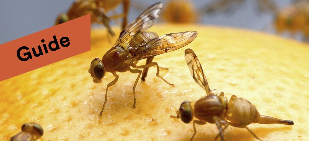 Bananflugor Guide Med Fakta Och For Bekampning